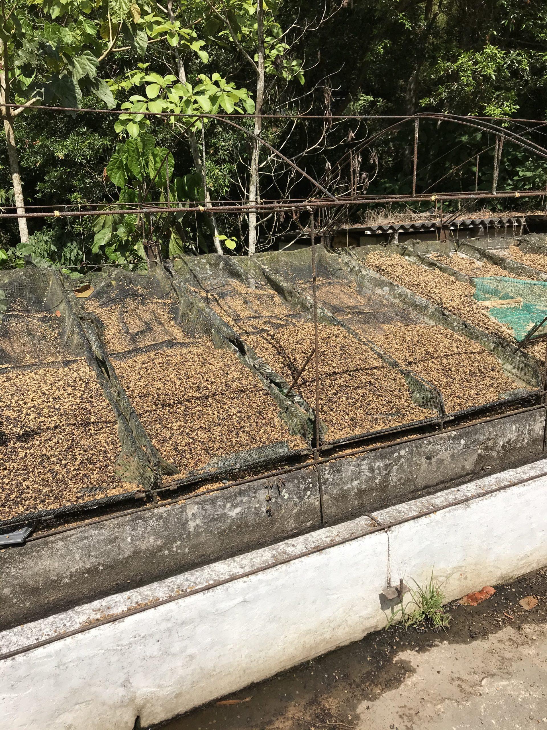 Drying Coffee